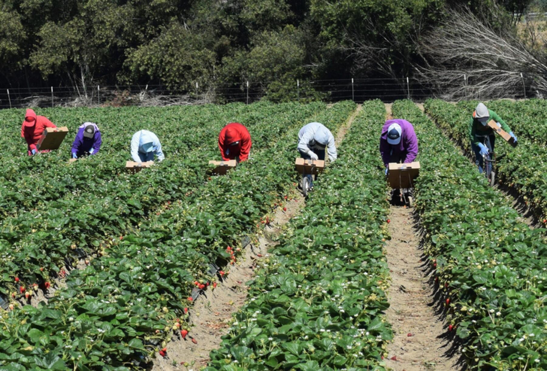 Strawberry Harvest in Central California