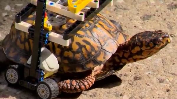 Una tortuga vuelve a caminar gracias a una 'silla de ruedas' de piezas de Lego