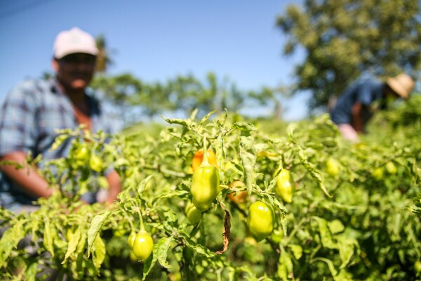En la segunda etapa del proyecto se buscará formular los compuestos que se aplicarán a cultivos de plantas de chile habanero.