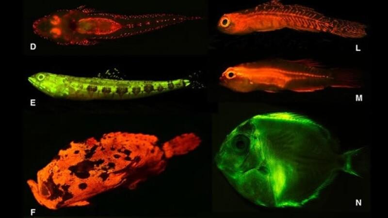 peces bioluminiscencia biofluorescentes