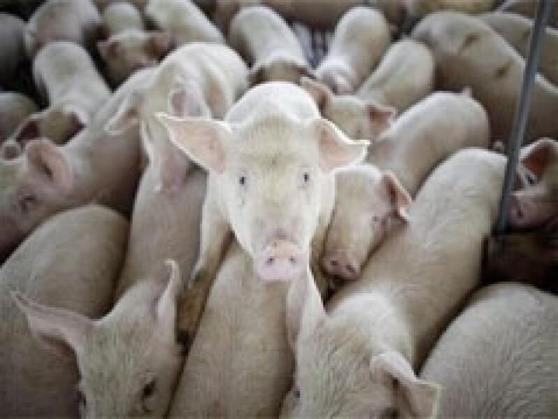 No se ha determinado la cantidad de cerdos infectados con el virus de la influenza humana en la granja canadiense. (Foto: AP)