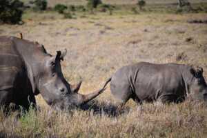 Rinocerontes en Lewa