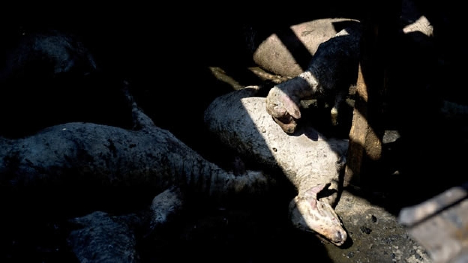 Animales víctimas en explosión de pipa