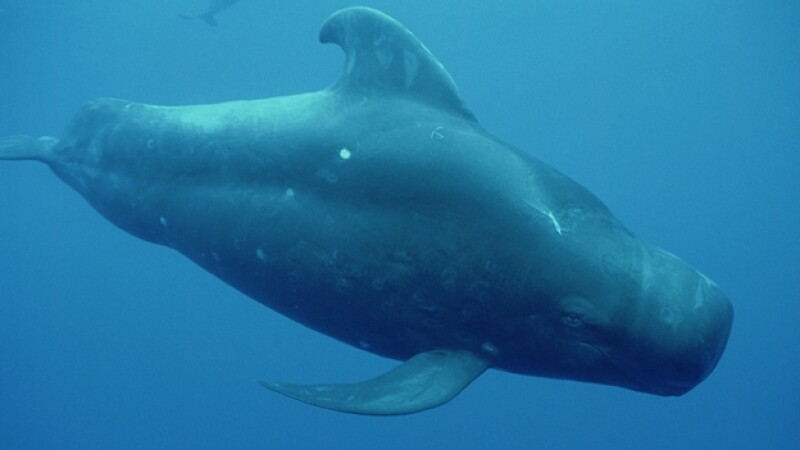 Un ejemplar de ballena piloto, especie vulnerable a quedar varada