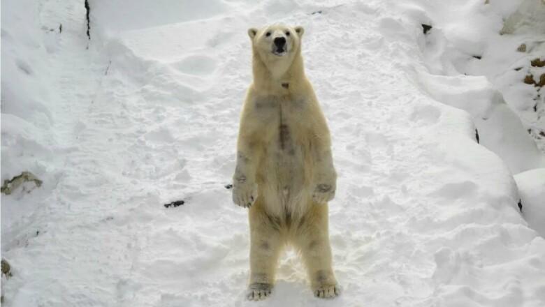 Un oso polar en el zoológico de Louisville, Kentucky, juega en la nieve este viernes.