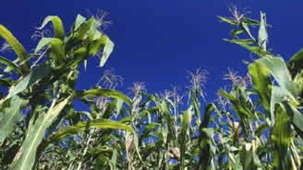 maiz-transgenico-cultivo-monsanto-JI.jpg