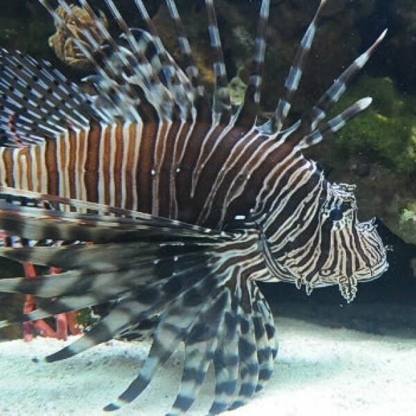 pez leon florida 02