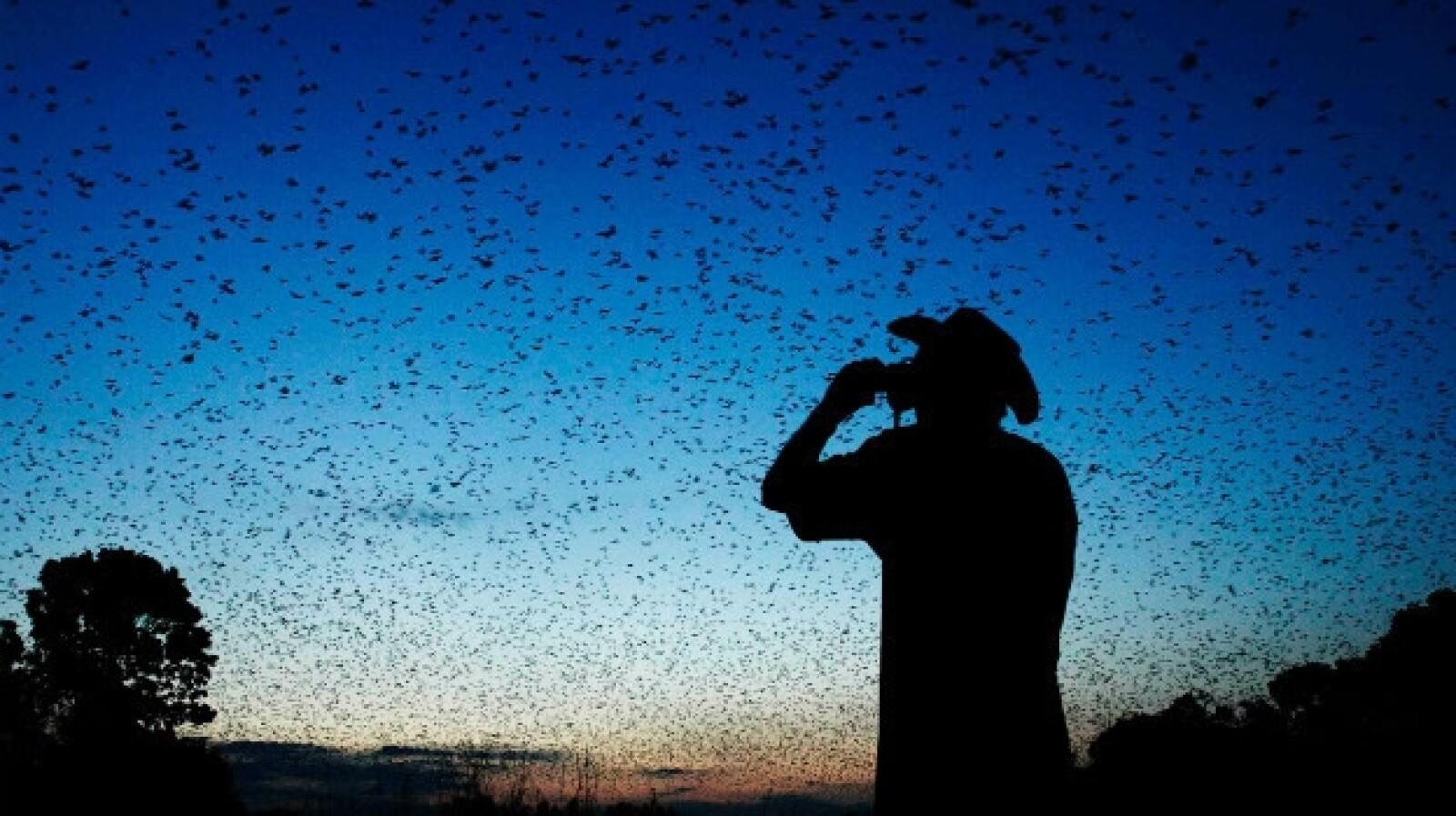 Kasanka bat migration, Zambia