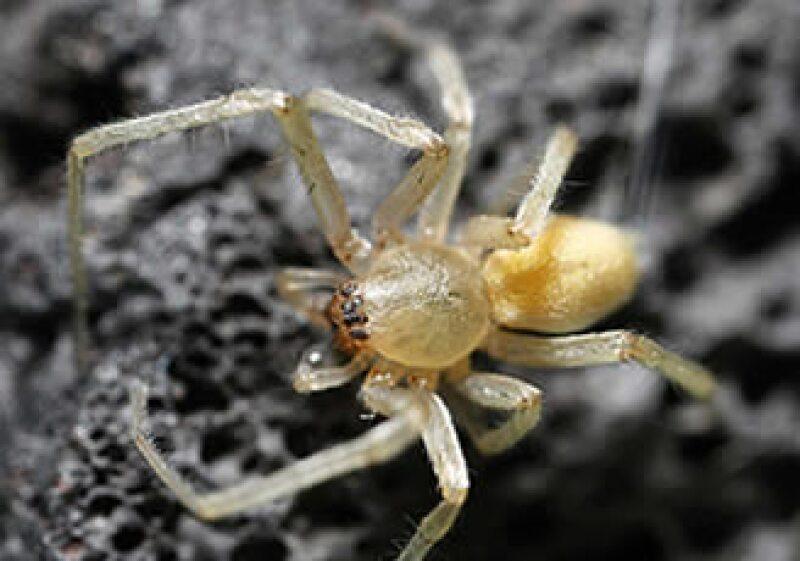 La araña que afecta a los vehículos es del tipo 'Yellow Sac' o del 'Saco Amarillo'.  (Foto: Cortesía CNN Money.com)