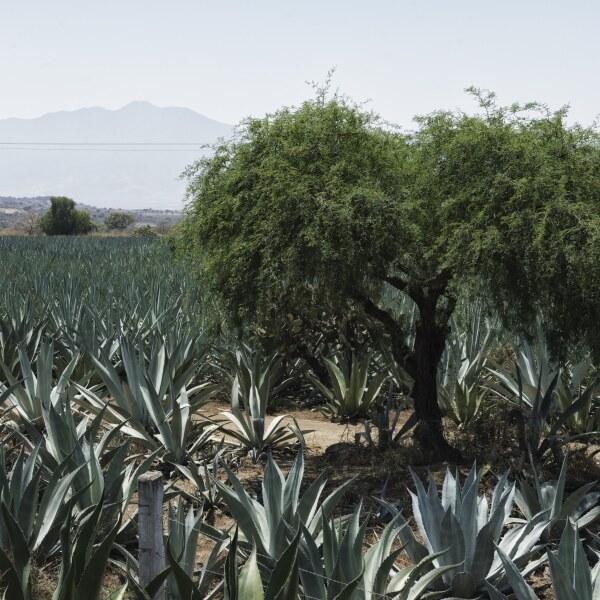 Campo de agave