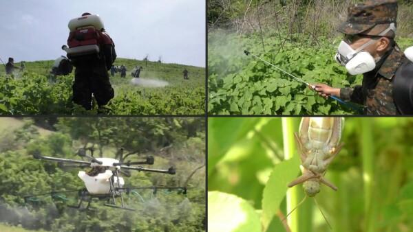 Así se combate la plaga de langosta en Centroamérica