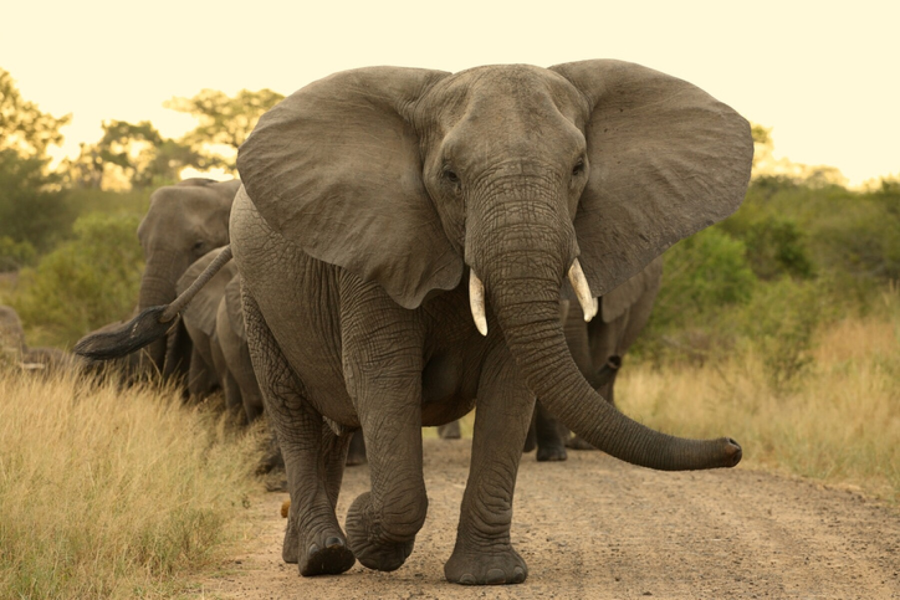 Elephant matriarch cow leading a herd.
