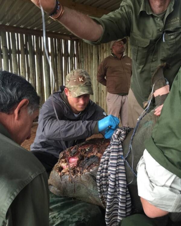 Harry estuvo hombro con hombro de veterianarios para curar a los rinocerontes.