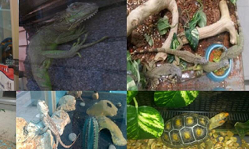 Iguanas, guacamayas y geckos son parte de los animales decomisados. (Foto: tomada de www.profepa.gob.mx)