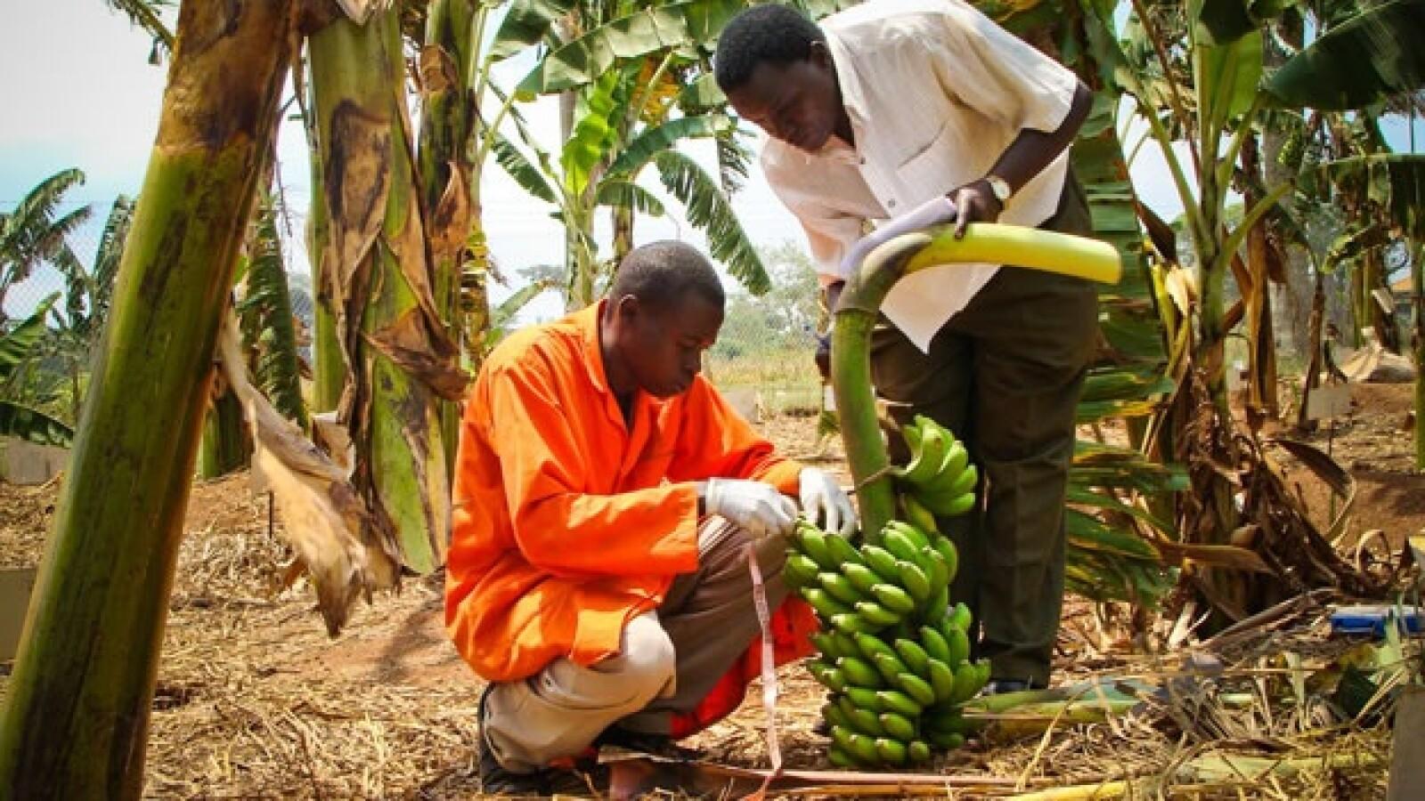 Uganda bananas agricultura plaga 08