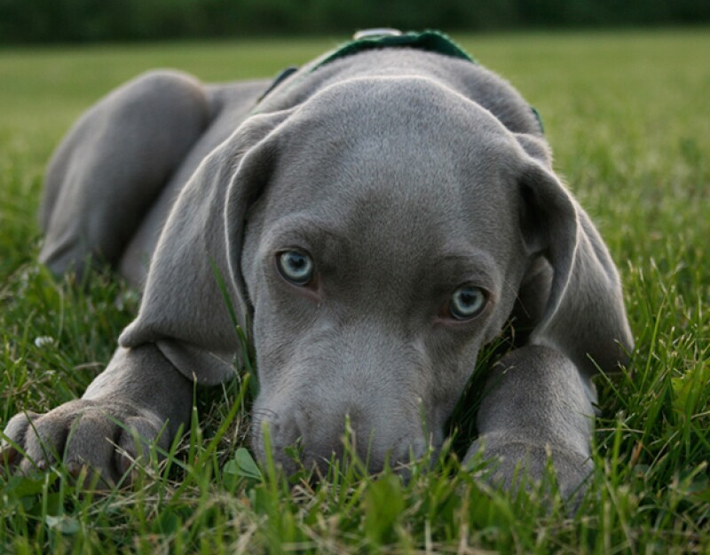 Empezando con los bulldogs y terminando con los huskies siberianos, te presentamos las razas que se han vuelto las favoritas en los últimos años.
