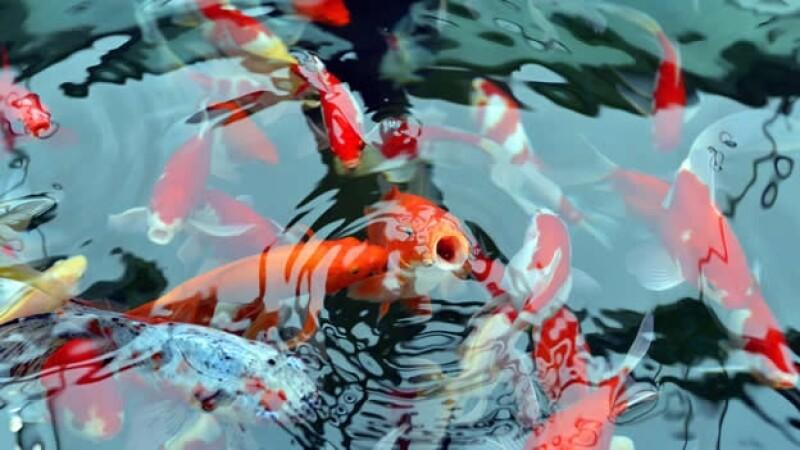 peces de colores en el acuario de fukushima