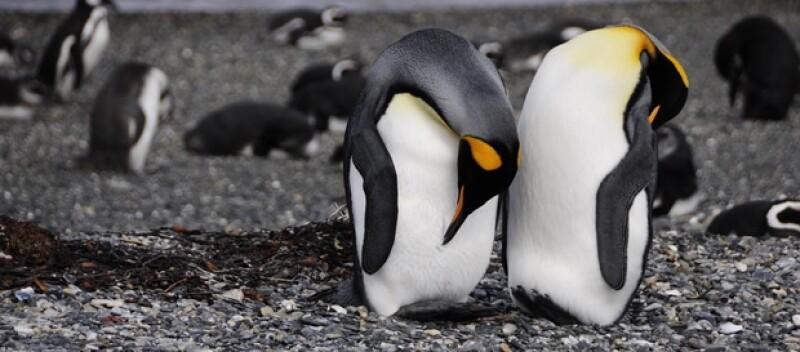 Ver pingüinos en su habita natural es de los espectáculos más bellos.