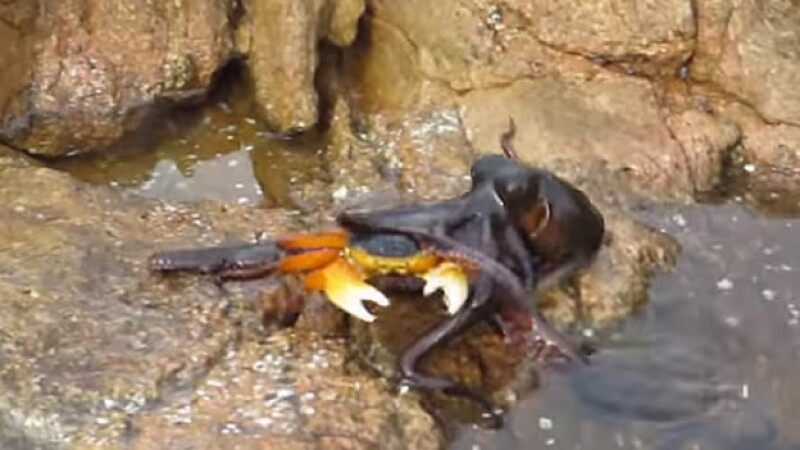 pulpo cangrejo batalla