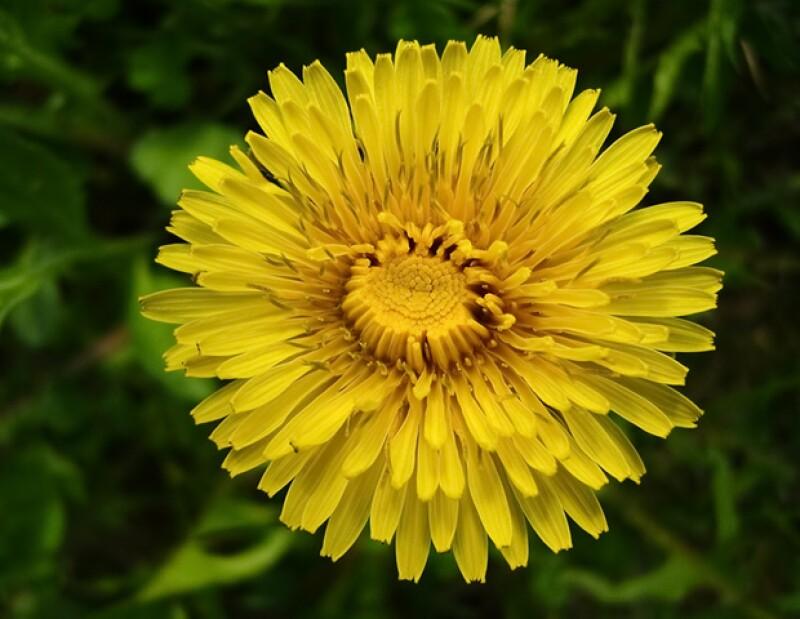 La raíz, los pétalos y las hojas del diente de león son usados para desintoxicar y limpiar el cuerpo.