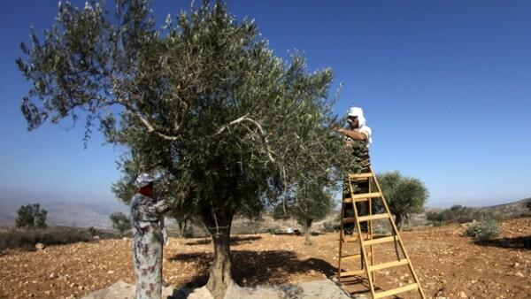 arboles de olivo cisjordania