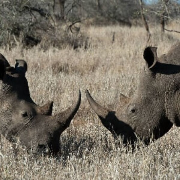 rinocerontes caza ilegal especies 03