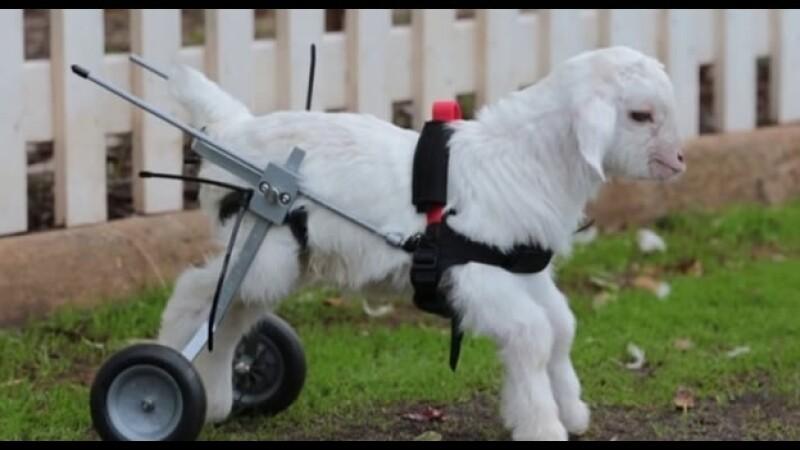 La pequeña cabra 'Frostie' utilizando su silla de ruedas para moverse