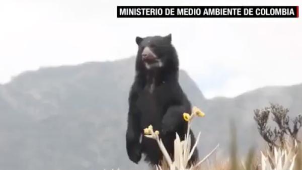 El oso de anteojos es una especie única de Sudamérica en peligro de extinción