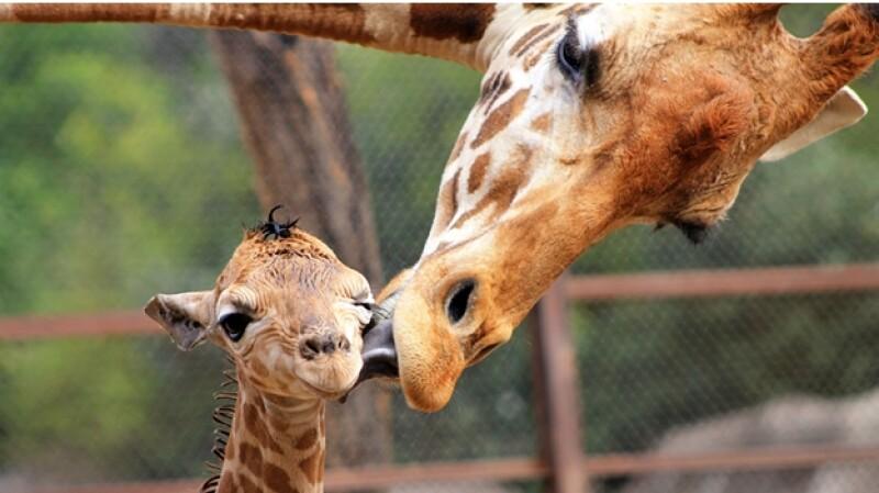 jirafa bebe zoológico de chapultepec