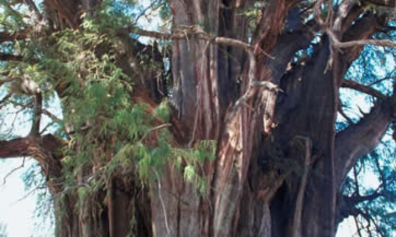 El árbol del tule mide casi 60 metros y el comité para su protección busca convertirlo en patrimonio de la humanidad. (Foto: Thinkstock)
