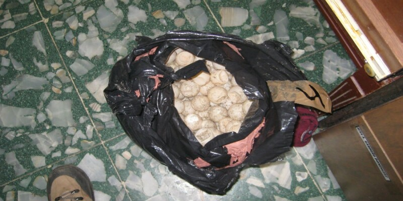 Los huevos de tortuga marina que fueron rescatados en Manzanillo luego de que dos expolicías los arrojaban al mar