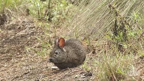 ¿Está extinto el teporingo, el conejo más pequeño de México?