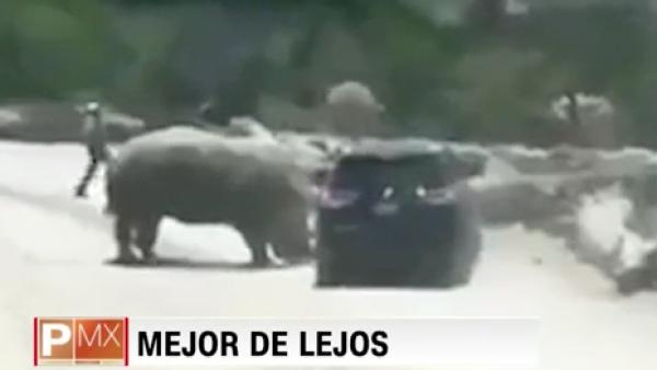 Así fue como un rinoceronte atacó a una camioneta en un zoológico de Puebla