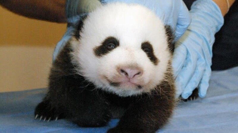 Cachorro panda nace en Washington