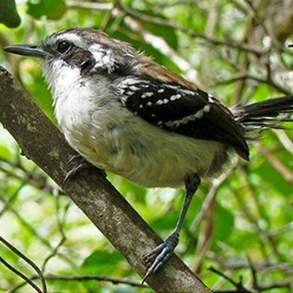 Amazonas aves especies amenazadas 01