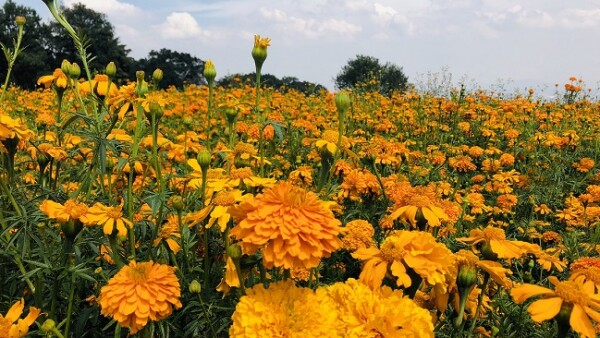 flores de cempas�chitl 4