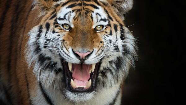 tigre felino