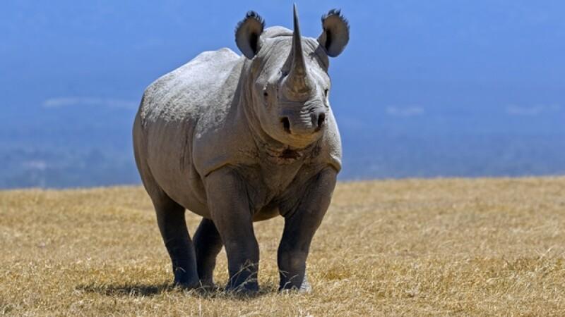 Un rinoceronte negro en Solio Ranch, Kenya; el cuerno de este animal se llega a vender en miles de pesos