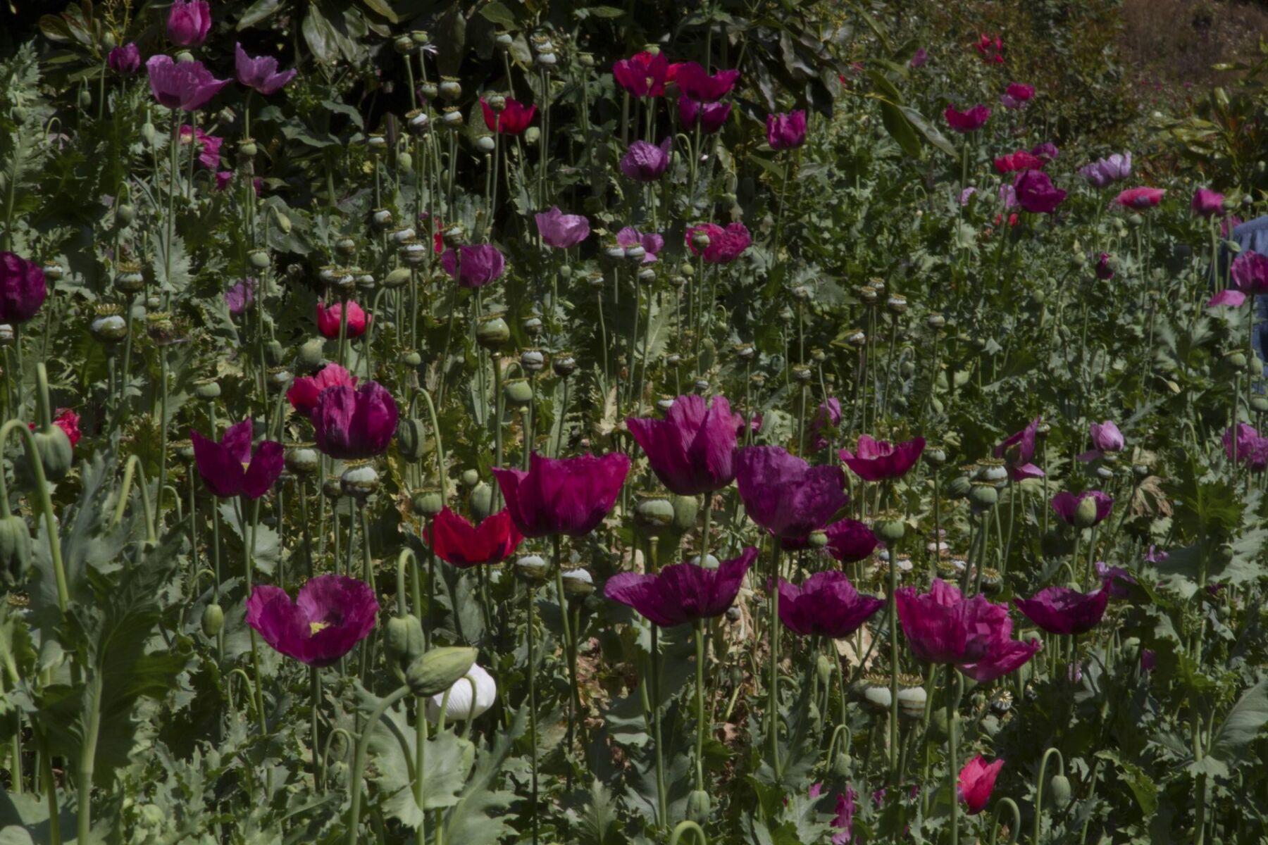 Cultivo-amapola